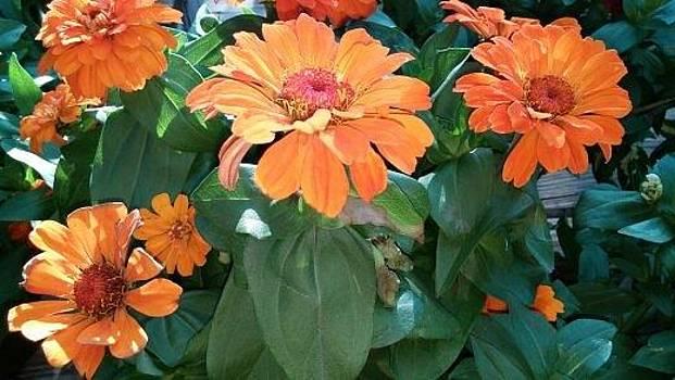 Orange Mums by Shawn Hughes