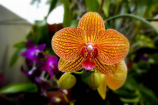 Laurie Perry - Orange Orchid