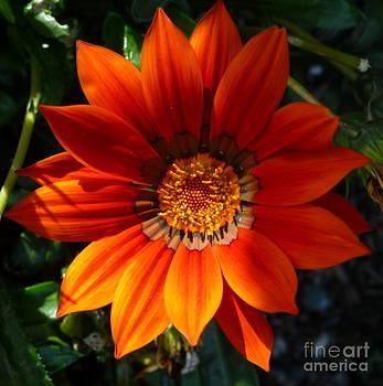 Sue Wild Rose - Orange Petals