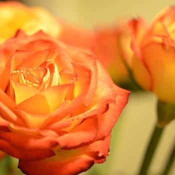 Corinne Rhode - Orange Rose