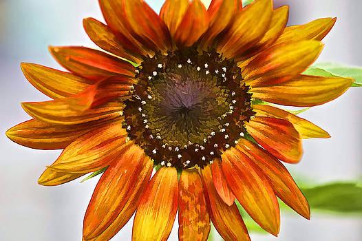 David Letts - Orange Sunflower