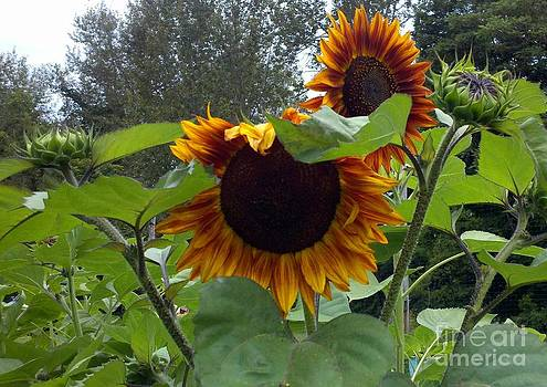 Orange sunflowers by Polly Anna