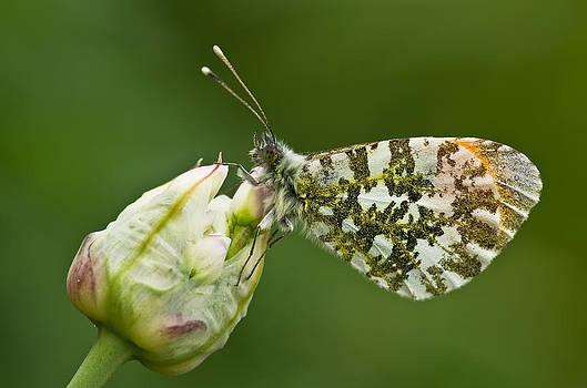 Orange tip butterfly by Pete Hemington