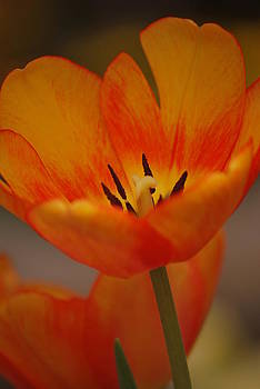 Orange Tulip by Amee Stadler