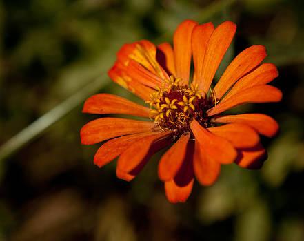 Orange Zinnia  by David Kittrell