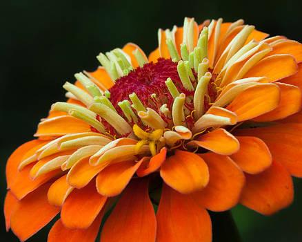 Orange Zinnia by Lynne Jenkins
