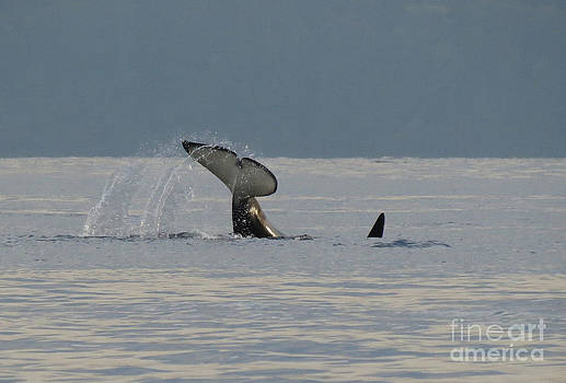 Orca at Sunset by Gayle Swigart