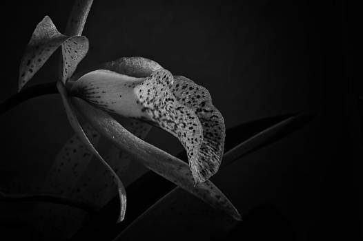 Orchid by Andreas Levi