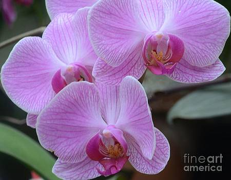 Orchid Beauties by Kathleen Struckle
