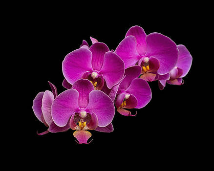 Orchid Cluster  by Eric  Bjerke Sr