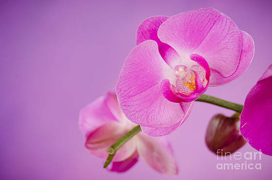 Orchid by Cynthia Holling-Morris