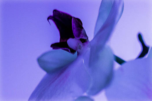 Orchid Ice by Sheree Lauth