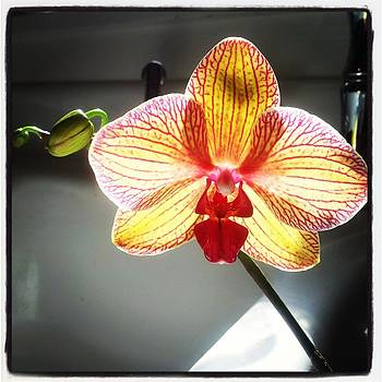 Orchid Light by Anastasia Pleasant