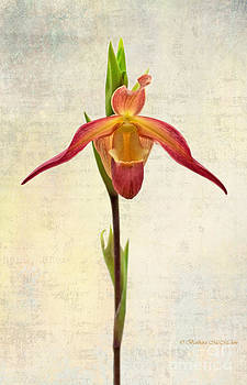 Barbara McMahon - Orchid Series 104