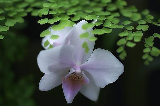 Orchid Splendor by Dawn Jarvis