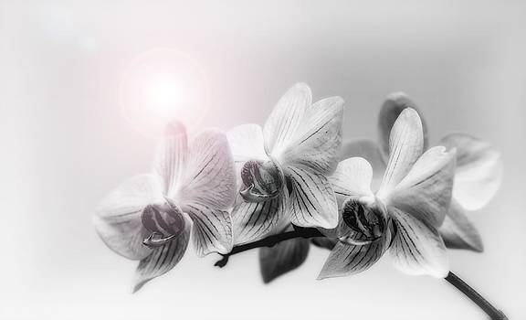 Thomas Christoph - Orchidee