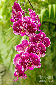 Kate Brown - Orchids