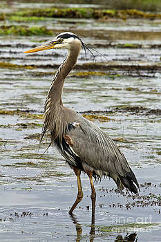 Oregon Coast Great Blue Heron by Carrie Cranwill