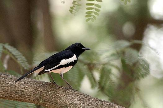 Ramabhadran Thirupattur - Oriental Magpie-Robin