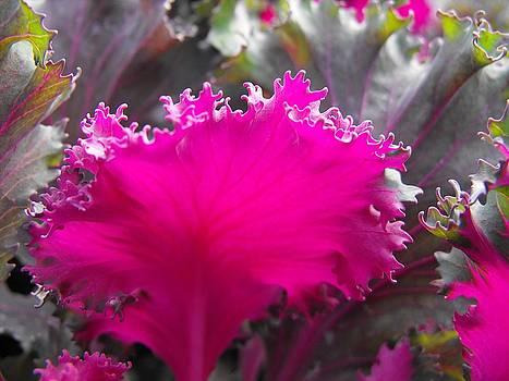 Kae Cheatham - ornamental cabbage