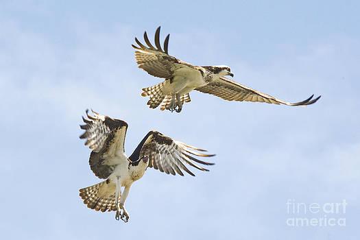 Andrea Kollo - Osprey Battle of the Nest No. 2