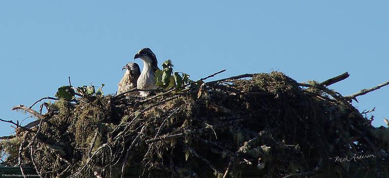 Mick Anderson - Osprey Chicks in Nest