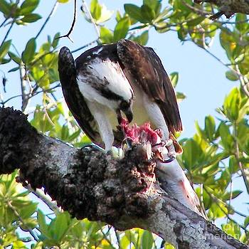 Judy Via-Wolff - Osprey Eating a Large Fish