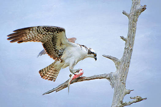 Osprey Eating Fish by Bonnie Barry