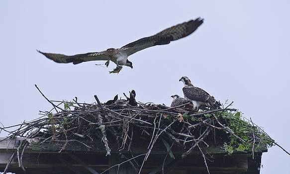 Osprey feeding her young by Roger Lewis