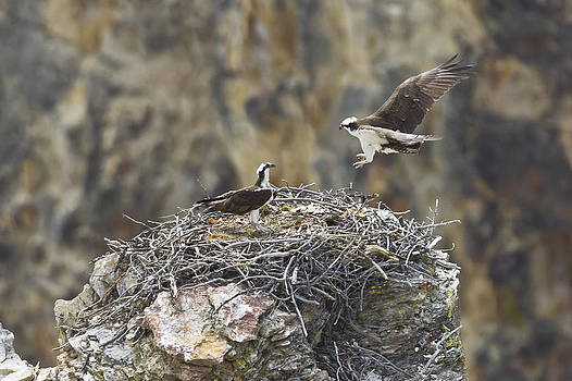Jack R Perry - Osprey Pair