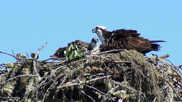 Mick Anderson - Osprey - Parent and Chick