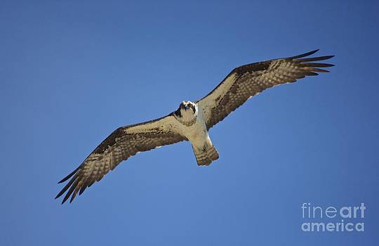 Amazing Jules - Osprey Soaring