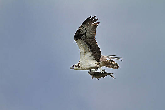 Osprey with Breakfast by Jim Nelson
