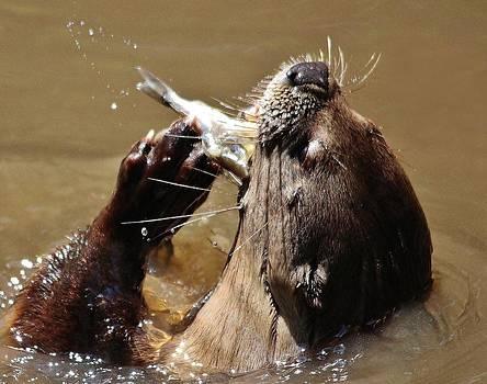 Paulette Thomas - Otter eating a Fish Dinner