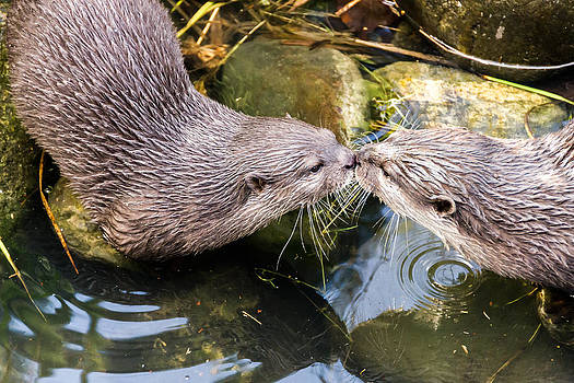 Otter Kiss by James Evans