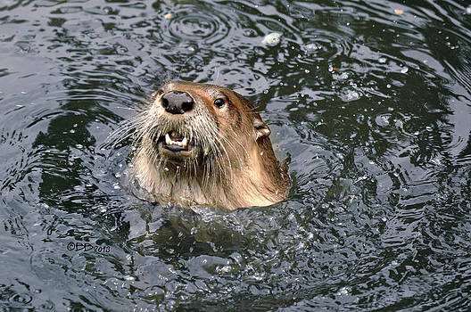 Otter Surfacing by Bev  Brown