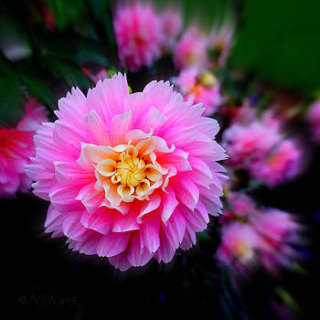 Dahlia Delight by Nick Kloepping