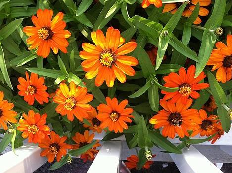 Outstanding Orange Beauty by Tanya Renee Herb