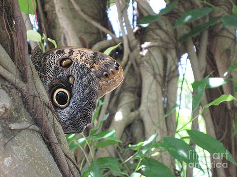 Owl Butterfly in Hiding by HEVi FineArt
