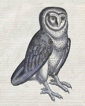 Science Source - Owl Historiae Animalium 16th Century