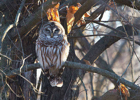 Owl Watching by Diane Porter