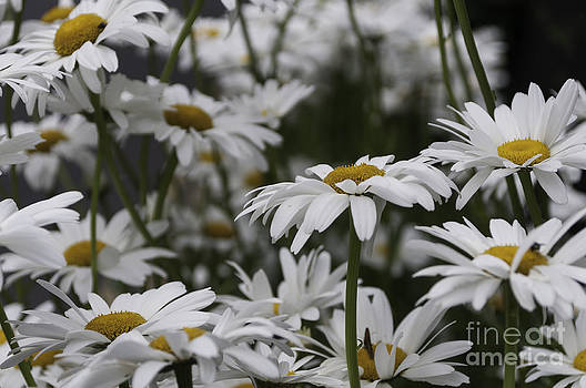 Steve Purnell - Oxeye Daisies