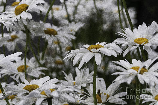 Steve Purnell - Oxeye Daisies Textured
