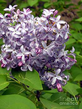 Ozark Spring Lavender Lilacs by Gerald MacLennon