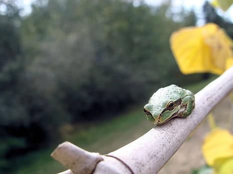 Pacific Chorus Frog by Cheryl Hoyle