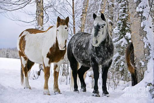 Rolf Kopfle - Paint Horse And Gray Quarterhorse