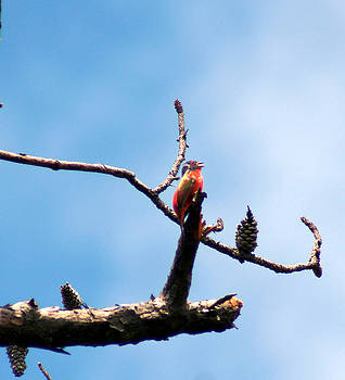 Painted Bunting by Kim Pate
