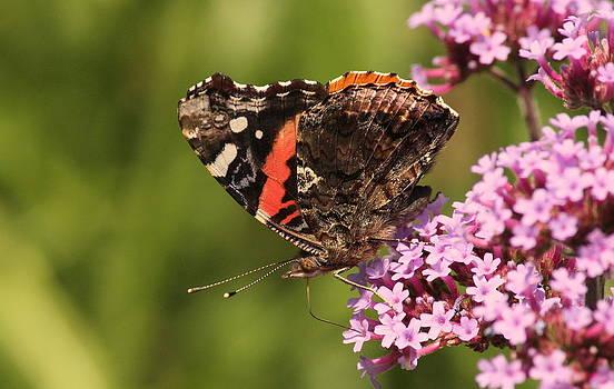 Rosanne Jordan - Painted Lady Butterfly