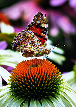 Painted Lady by Steve Barge