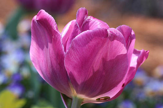 Painted Tulip by Laurel Butkins